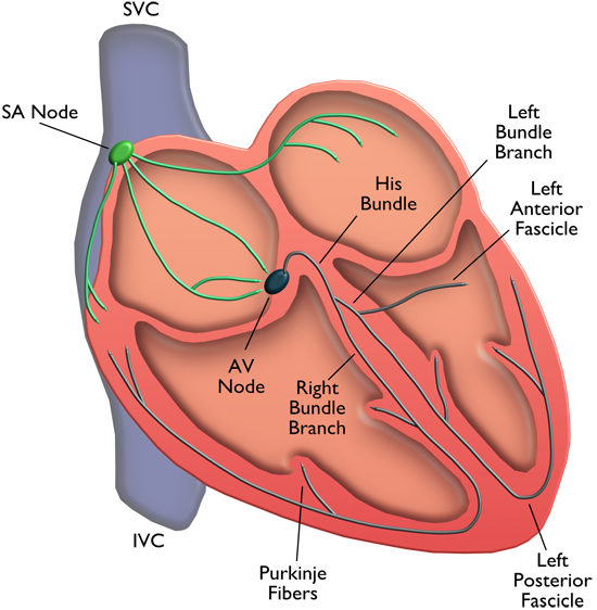Cardiac Physiology | MD Nexus